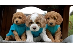 Picture of Red & White Parti Male Labradoodle