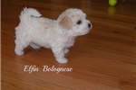 Picture of Gorgeous Bolognese Puppy