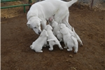 Picture of Purebred Akbash Puppies, no papers