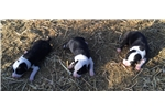 Purebred McNab Puppies 1 Male and 3 Female | Puppy at 13 weeks of age for sale