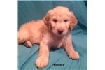 Picture of Amber Female F2 Goldendoodle