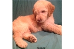 Picture of Tanner F1b Male Goldendoodle