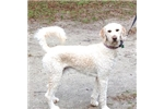 Picture of Gunner F2 Male Goldendoodle