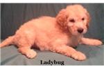 Picture of Ladybug F2b Female Goldendoodle