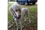 Picture of Tuffy Girl F2 Female Goldendoodle