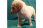 Picture of Duke  F2b Male Goldendoodle