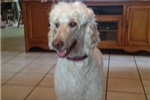Picture of Ginger F2 Female Goldendoodle
