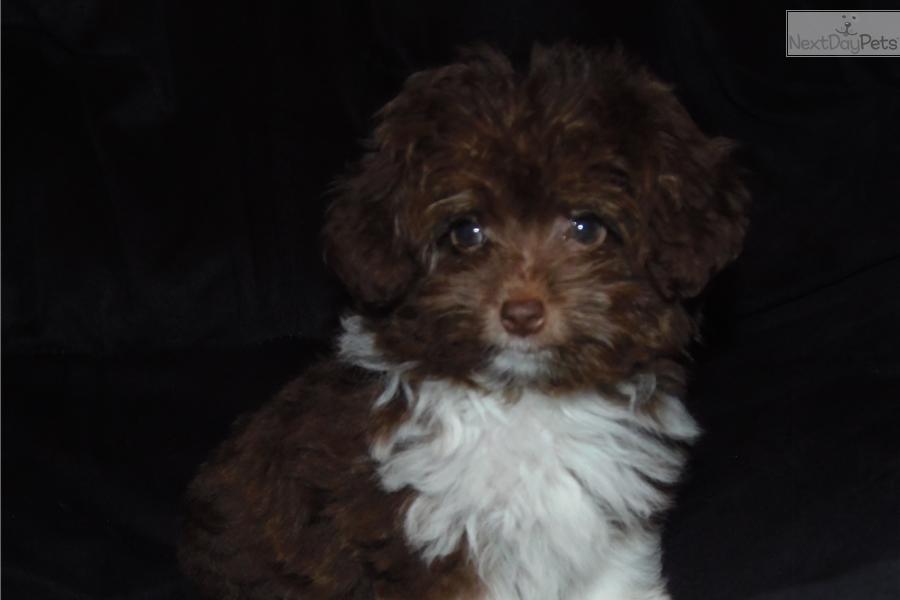 Aussiedoodle puppy for sale near Toledo, Ohio | bdf88d42-1dc1