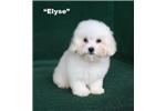 Picture of Elyse - White/Cream Female Havapoo