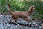 Picture of 'Tristan' AKC Health Tested Long Coat Chihuahua