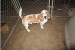 Picture of Male Basset