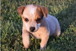 Picture of Gorgeous Red Heeler Puppy