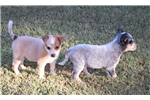 Picture of Cute and adorable Blue Heeler Puppy