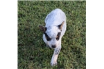 Picture of Sweet and Cute Blue Heeler Puppy
