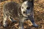 Picture of Beautiful Male Blue Heeler Puppy