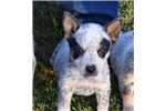 Sweet and Cute Blue Heeler Puppy | Puppy at 7 weeks of age for sale