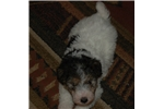 Picture of Ready Now! AKC Reg. Male Foods Terrier