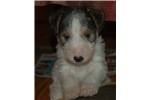 Picture of Adorable AKC Registered Male puppy