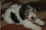 Picture of AKC Registered Male Fox Terrier puppy 417.733.4818