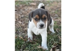Picture of Male Jack Russell/Beagle (Jack-a-bee)