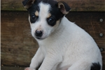 Picture of Ready Now! Adorable Female Rat Terrier puppy