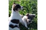 Picture of Ready Now! Beautiful Female Rat Terrier puppy