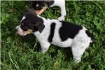 Picture of Rat Terrier/ Welsh Corgi Mix Female