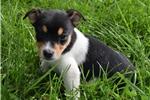 Picture of Rat Terrier/ Welsh Corgi Mix male