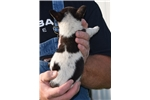 Picture of Adorable male Rat Terrier puppy