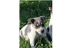 Picture of Ready Now! Adorable Male Rat Terrier puppy