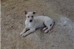 Picture of UKC Carolina Dog