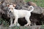 Carolina Dog for sale