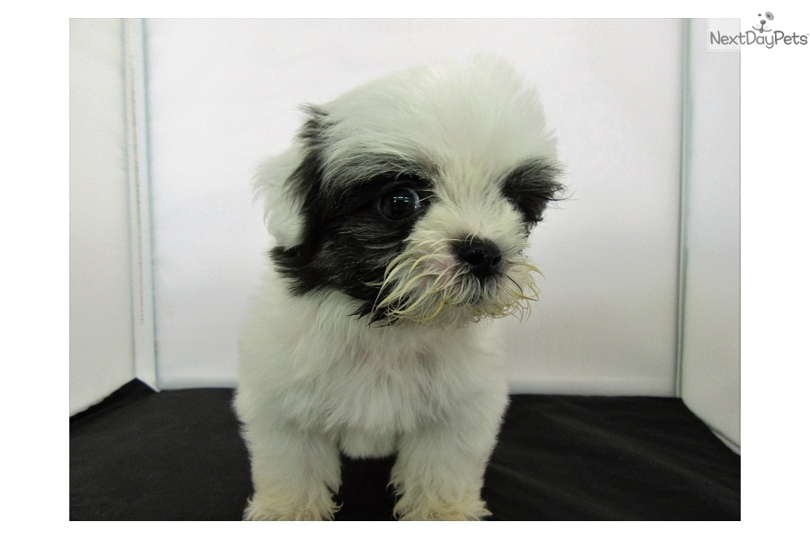 The gallery for --> Black Shih Tzu Haircuts