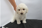 Picture of Bichon/Poodle-Female-Ava