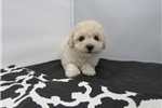 Picture of BIchon/Poodle-Female-Paisley