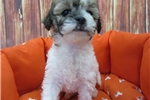 Mal-Shi-Female-Jacklin | Puppy at 13 weeks of age for sale
