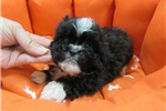 Mal-Shi-Male-Alex | Puppy at 10 weeks of age for sale