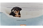 Picture of Maltese/Jack Russell-Male-6 Pack
