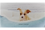Picture of Maltese/Jack Russell-Female-Cream