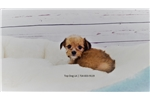 Picture of  Maltese/Jack Russell-Female-Pam
