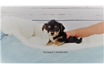 Picture of Maltese/Jack Russell-Male-Chatto