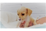 Picture of Maltese/Jack Russell-Male-Buster