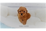 Picture of French Poodle-Male-Baguette