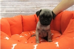 Pug-Female-Lady | Puppy at 10 weeks of age for sale