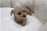 Picture of Yorkipoo-Male-Sunshine