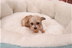 Picture of Yorkipoo-Female-Miss A