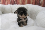 Picture of Yorkipoo-Female-Chloe
