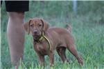 Picture of AKC Vizsla Yellow Male