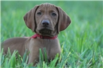 Picture of AKC Vizsla Red Male