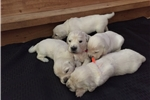 Picture of Champion Lineage English Gream Goldens